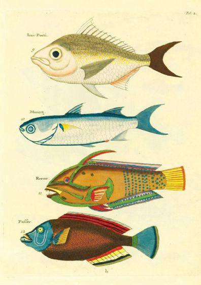 Renard, Louis: Illustrations of Marine Life Found in Moluccas (Indonesia). Art Print/Poster (4968)